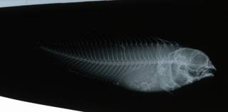To NMNH Extant Collection (Chasmodes RAD109109-001)
