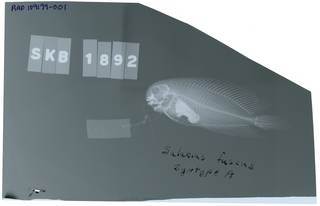 To NMNH Extant Collection (Salarias fuscus RAD109199-001)