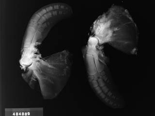 To NMNH Extant Collection (USNM 484889 Cephalorhynchus commersonii Radiograph 001)