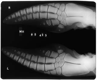 To NMNH Extant Collection (USNM 550846 Delphinus delphis Radiograph 001)
