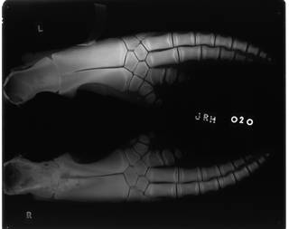 To NMNH Extant Collection (USNM 571322 Lissodelphis borealis Radiograph 001)