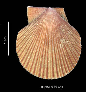 To NMNH Extant Collection (Chlamys patagonica (King, 1832) left valve outer view)