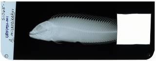 To NMNH Extant Collection (Auchenionchus microcirrhis RAD107937-001)