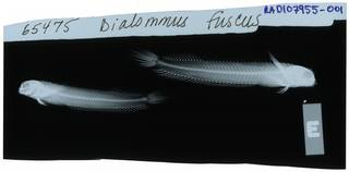 To NMNH Extant Collection (Dialommus fuscus RAD107955-001)
