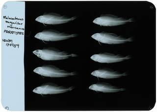 To NMNH Extant Collection (Malacoctenus margaritae mexicanus RAD107958-001)