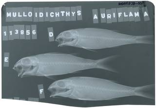 To NMNH Extant Collection (Parupeneus forsskali RAD105838-001)