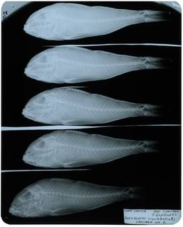 To NMNH Extant Collection (Parupeneus heptacanthus RAD105911-002)