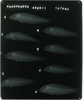 To NMNH Extant Collection (Parupeneus margaritatus RAD105929-001)
