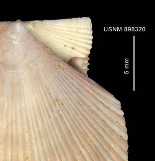 To NMNH Extant Collection (Chlamys patagonica (King, 1832) close up of bissus notch)