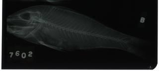 To NMNH Extant Collection (Parupeneus macronemus RAD105937-001)