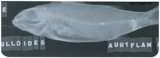 To NMNH Extant Collection (Mulloidichthys RAD105960-001)