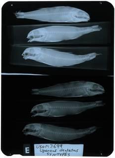 To NMNH Extant Collection (Upeneus dentatus RAD111059-001)