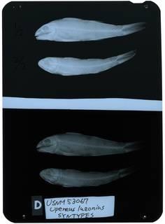 To NMNH Extant Collection (Upeneus luzonius RAD111086-001)