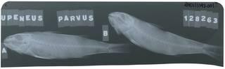 To NMNH Extant Collection (Upeneus parvus RAD111093-001)