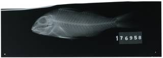 To NMNH Extant Collection (Upeneichthys porosus RAD111108-001)