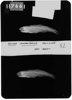 To NMNH Extant Collection (Anchoa lamprotaenia RAD103929-001)