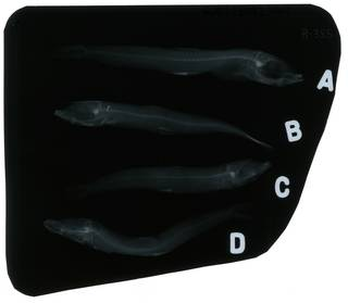 To NMNH Extant Collection (Glossanodon pygmaeus RAD103992-001)