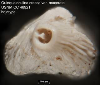 To NMNH Paleobiology Collection (Quinqueloculina crassa var. macerata USNM CC 46921 holotype ap)
