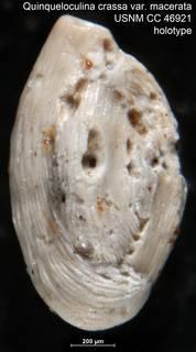 To NMNH Paleobiology Collection (Quinqueloculina crassa var. macerata USNM CC 46921 holotype)