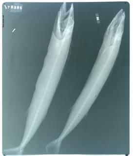 To NMNH Extant Collection (Thyrsites atun RAD103825-002)