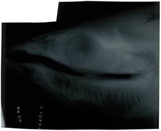 To NMNH Extant Collection (Lepidocybium flavobrunneum RAD103828-001)