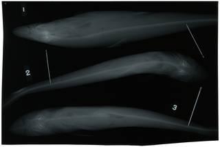 To NMNH Extant Collection (Rhizoprionodon lalandii RAD100908-001)