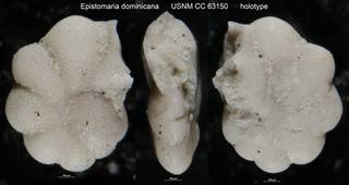 To NMNH Paleobiology Collection (Epistomaria dominicana USNM CC 63150 holotype)