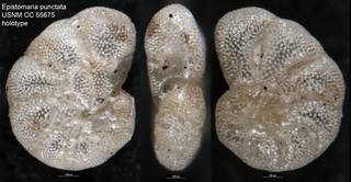 To NMNH Paleobiology Collection (Epistomaria punctata USNM CC 55675 holotype)