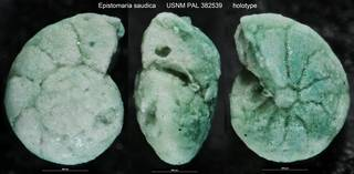 To NMNH Paleobiology Collection (Epistomaria saudica USNM PAL 382539 holotype)