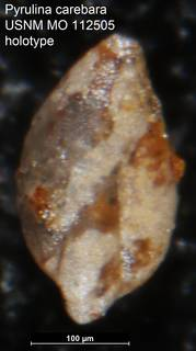 To NMNH Paleobiology Collection (Pyrulina carebara USNM MO 112505 holotype)