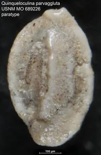 To NMNH Paleobiology Collection (Quinqueloculina parvaggluta USNM MO 689226 paratype)