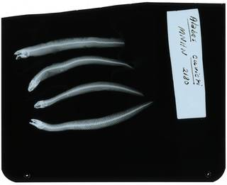 To NMNH Extant Collection (Alabes cuvieri RAD107981-001)