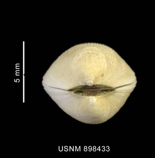 To NMNH Extant Collection (Limatula pygmaea (Philippi, 1845) apical view)