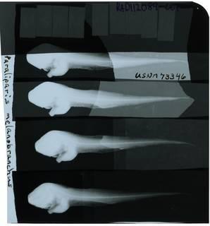To NMNH Extant Collection (Paraliparis melanobranchus RAD112089-001)