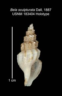 To NMNH Extant Collection (IZ MOL 183404 Holotype Shell)