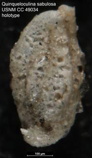 To NMNH Paleobiology Collection (Quinqueloculina sabulosa USNM CC 49034 holotype)