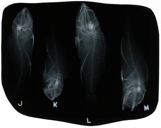 To NMNH Extant Collection (Pontinus longispinis RAD112836-001)