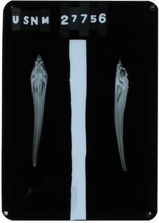 To NMNH Extant Collection (Agonus vulsus RAD112884-001)