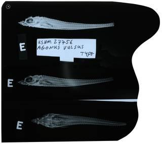 To NMNH Extant Collection (Agonus vulsus RAD112884-003)