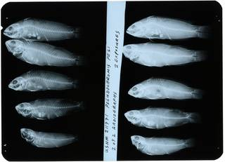 To NMNH Extant Collection (Pseudochromis pesi RAD112891-002)