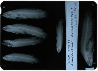 To NMNH Extant Collection (Acanthoclinus littoreus RAD112914-001)