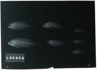 To NMNH Extant Collection (Plesiops cephalotaenia RAD112936-001)