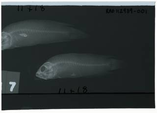 To NMNH Extant Collection (Pseudoplesiops sargenti RAD112939-001)