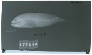 To NMNH Extant Collection (Labracinus cyclophthalmus RAD113052-001)
