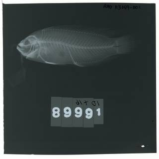 To NMNH Extant Collection (Pseudochromis splendens RAD113069-001)