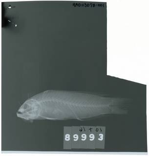 To NMNH Extant Collection (Pseudochromis moorei RAD113078-001)