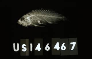 To NMNH Extant Collection (Plesiops cephalotaenia RAD113086-001)