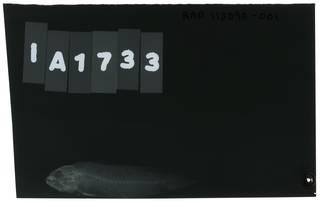 To NMNH Extant Collection (Pseudochromis quinquedentatus RAD113090-001)