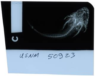 To NMNH Extant Collection (Cottiusculus schmidti RAD112106-002)