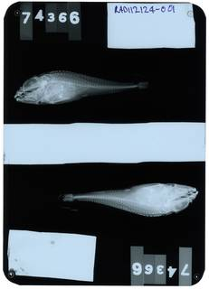 To NMNH Extant Collection (Icelus uncinalis RAD112124-001)